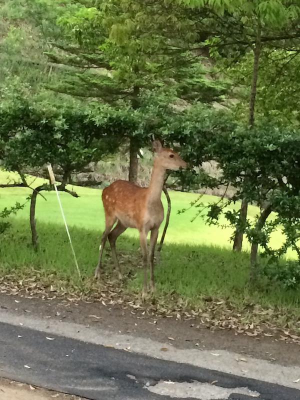ゴルフ場で鹿